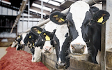 Darbas karvių fermose Švedijoje